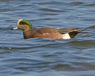 Male American Wigeon, Brazil Lagoons, October 28, 2006.