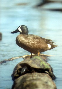 Blue Winged Teal, Hawthorne Park Wetland, Terre Haute, Indiana, August 2003.  Turtle on log in foreground.