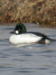 Common Goldeneye, Brazil Lagoons, Feb 19, 2005.