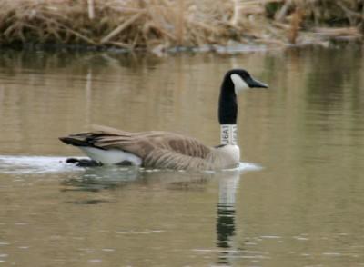 Canadian Goose, J6A1, JI Case Wetlands, Terre Haute, Indiana, Feb 19, 2005.