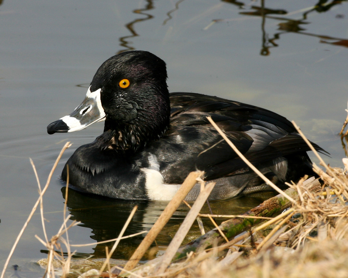 Ring-necked Duck, Brazil Lagoons, March 9, 2007.