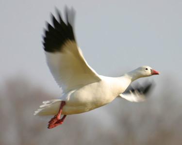 Ross's Goose, Brazil Lagoons, January 7, 2006.