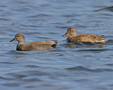 Male and Female Gadwall, Brazil Lagoons, October 28, 2006.