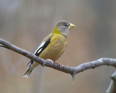 Evening Grosbeak, Indiana Dunes State Park Nature Center, Porter County, Indiana, November 2012.  #312