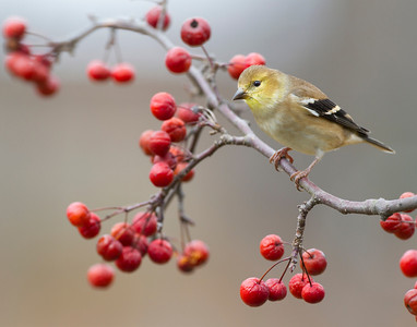 Goldfinch, Vigo County, Indiana, December 16, 2012.