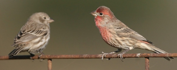 Female and Male House Finch, Universal Mine, Vermillion County, Indiana, 2008.