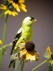Goldfinch eating blackeye susan flower seeds.  Photographed in front yard, Terre Haute, Indiana, July 5, 2004.