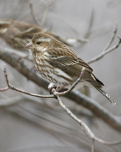 Purple Finch (female), Photographed at Scott Evans' bird feeders, Monroe County, Indiana, February 12, 2008.