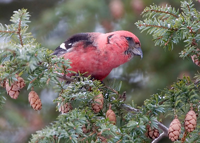 White-winged Crossbill, Montgomery County, Indiana, January 19, 2009.  My 256th photographed bird species in Indiana.
