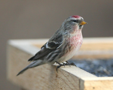 Common Redpoll, Indiana Dunes State Park Nature Center, November 30, 2007.  (My 213th photographed Indiana species).