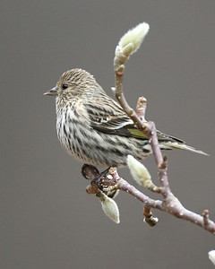 Pine Siskin, In front yard Grand Magnolia tree, NE Vigo County, Indiana, December 1, 2007.