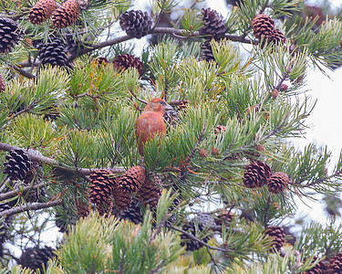 Red Crossbill, Shades State Park, Montgomery County, Indiana, November 6, 2012.  Found with Alan Bruner.  #310