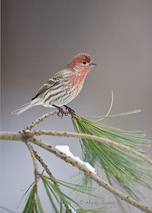 House Finch, Vigo County, Indiana, February 2010.