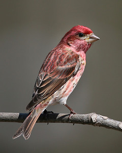Purple Finch, Home in NE Vigo County, Indiana, April 5, 2008.