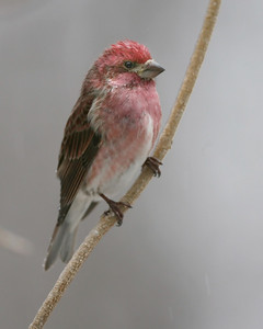 Purple Finch (male), Photographed at Scott Evans' bird feeders, Monroe County, Indiana, February 12, 2008.