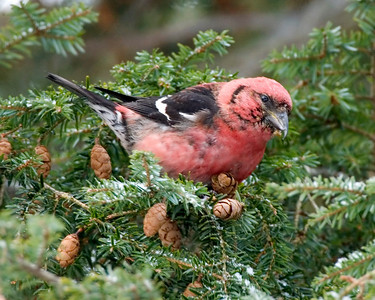 White-winged Crossbill, Oakwood Cemetery, Montgomery County, Indiana, January 19, 2009.  My 256th photographed bird species in Indiana.
