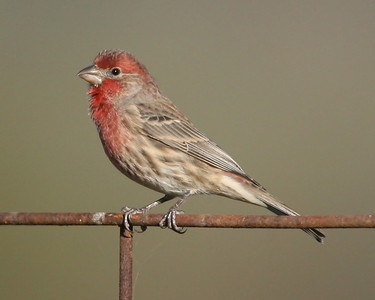 House Finch, Universal Mine, November 4, 2007.