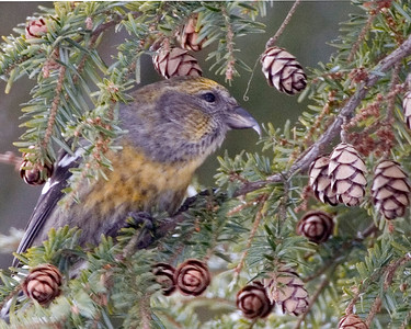 White-winged Crossbill, Montgomery County, Indiana, January 19, 2009.