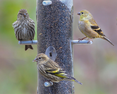 Pine Siskins and American Goldfinch, Indiana Dunes State Park Nature Center, Porter County, Indiana, November 3, 2012.