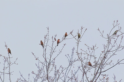 Red Crossbills, Five males and two females, an eighth crossbill is not pictured.  Shades State Park, Montgomery County, Indiana, November 6, 2012.  Found with Alan Bruner.  #310