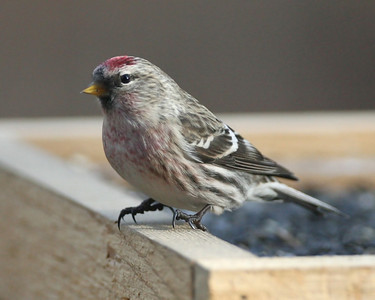 Common Redpoll, Indiana Dunes State Park Nature Center, November 30, 2007.  (Species #213).