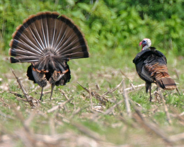Wild Turkey, Parke County, Indiana, May 18, 2006.