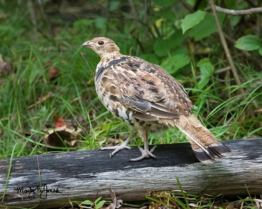 Ruffed Grouse