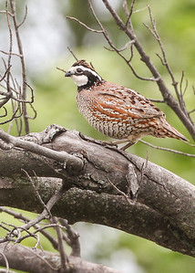 Northern Bobwhite, Beehunter Marsh, Greene County, Indiana, May 2013.