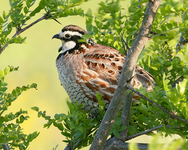 Bobwhite, Vermillion County, Indiana, May 17, 2008.