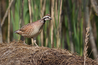 Northern Bobwhite, Former Chinook Mine, Clay County, Indiana, May 2, 2013.
