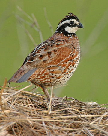 Gallinaceous Birds - Three of the four species expected in Indiana have been photographed