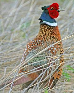 Ring-necked Pheasant, Pine Creek Gamebird Habitat, Benton County, Indiana, May 17, 2006.