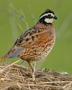 Northern Bobwhite, Chinook Mine North, Vigo County, Indiana, May 19, 2006.