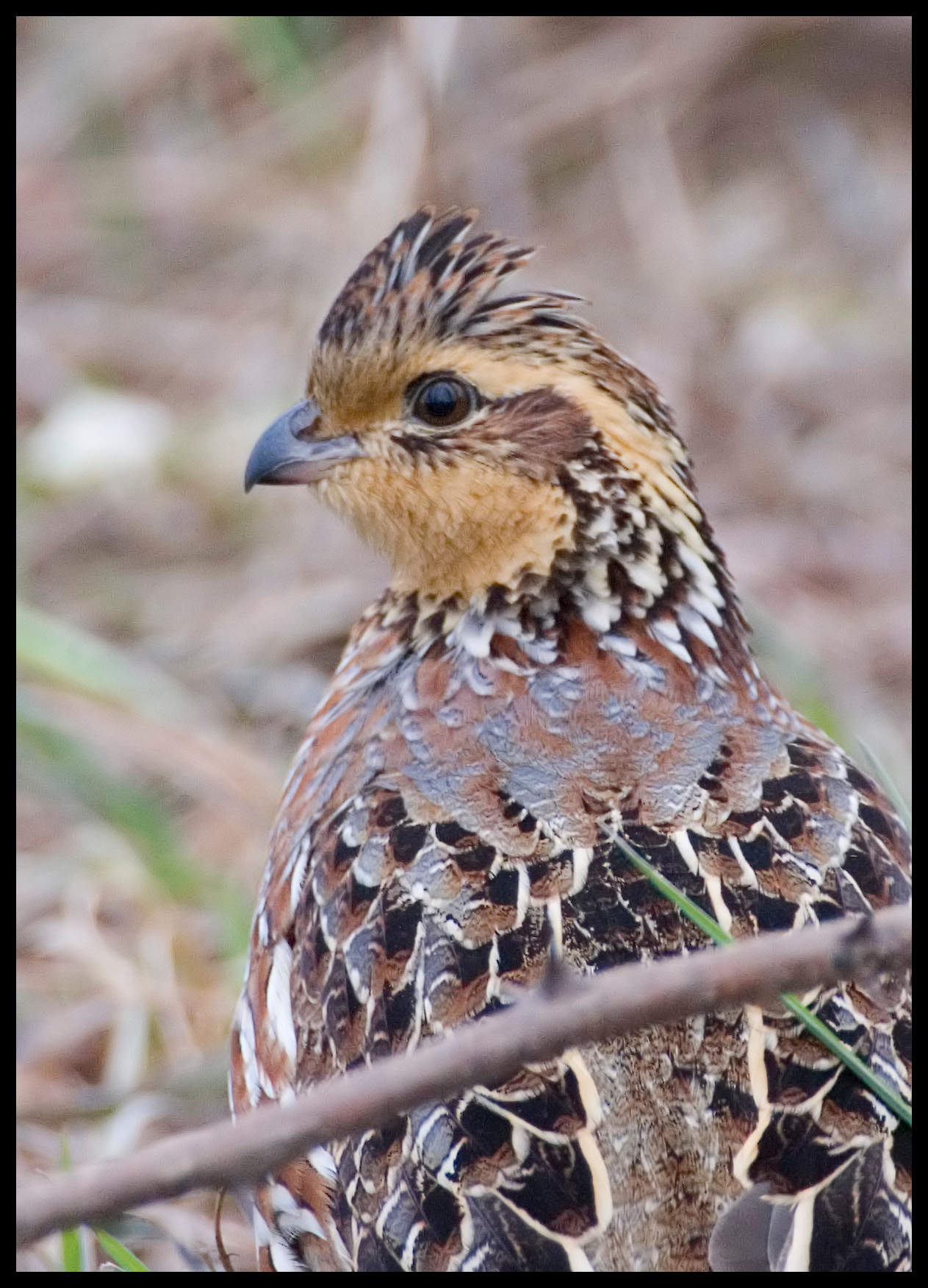 Northern Bobwhite, Sullivan County, Center Road, Dec 2008.