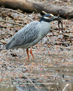 Yellow-crowned Night-Heron eating a frog, Dobbs Nature Park, Terre Haute, Indiana, March 31, 2011.  This bird was Indiana's second earliest recorded YCNH.