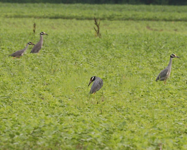 Yellow-crowned Night Herons, Minnehaha FWA, Sullivan County, Indiana, June 28, 2007.  This shows four of the six herons that were foraging in the soybean field.