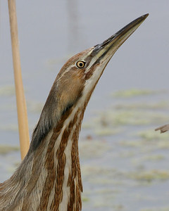 American Bittern, Chinook Mine South, Vigo County, Indiana, April 19, 2007