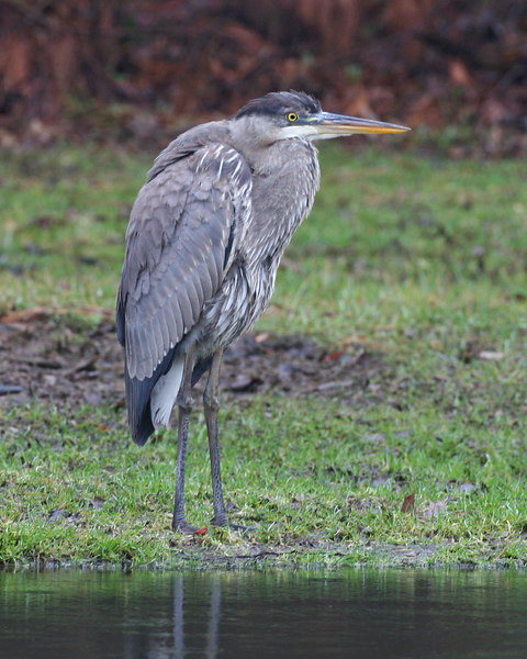 Great-blue Heron, Dobbs Memorial Park, Terre Haute, Indiana, January 7, 2007.