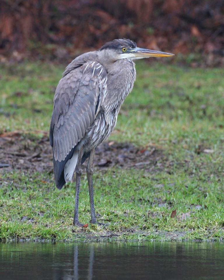 Great-blue Heron, Dobbs Memorial Park, Terre Haute, Indiana, January 7, 2007.