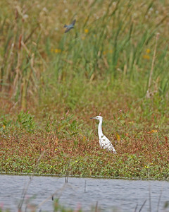 Little Blue Heron (juvenile), Beehunter Marsh, Greene County, Indiana, September 30, 2006.