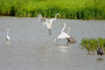 Great Egrets and Blue Herons, Lake Tannenbaum, Parke County, Indiana, July 18, 2005.