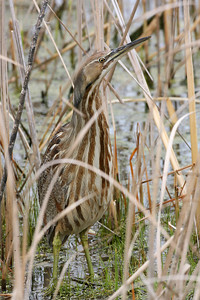 American Bittern, Chinook Mine South, Vigo County, Indiana, April 19, 2007.