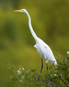 Egret, Wabash River/Hwy 40 Wetland, August 10, 2008.