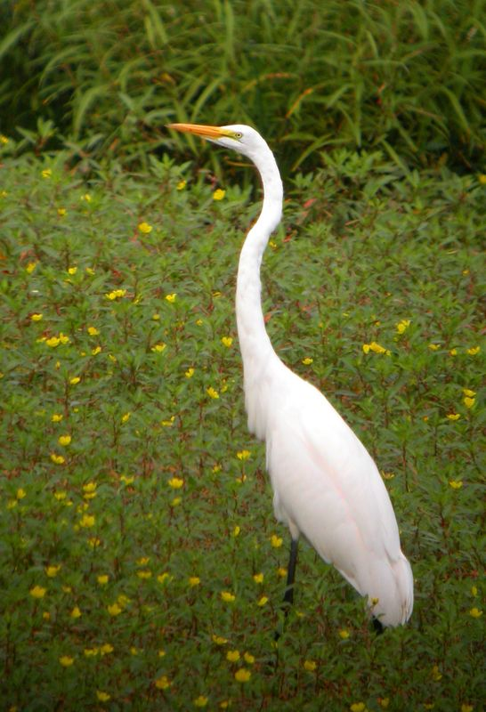 Great Egret, Southern Chinook Mine, Moyer and Light Rd wetland, August 24, 2005.