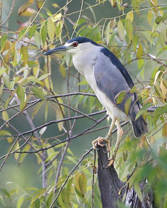 Black-crowned Night Heron, Carlson Oxbow Nature Park, Hammond, Indiana, August 27, 2007