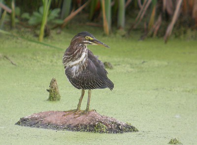 Green Heron, Northern Chinook Mine, Vigo County, August 13, 2005.