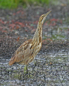 American Bittern in spring rain, Chinook Mine South, May 1, 2006.