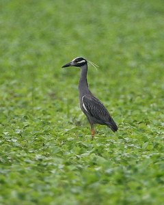 Yellow-crowned Night Heron, Minnehaha FWA, Sullivan County, Indiana, June 28, 2007.