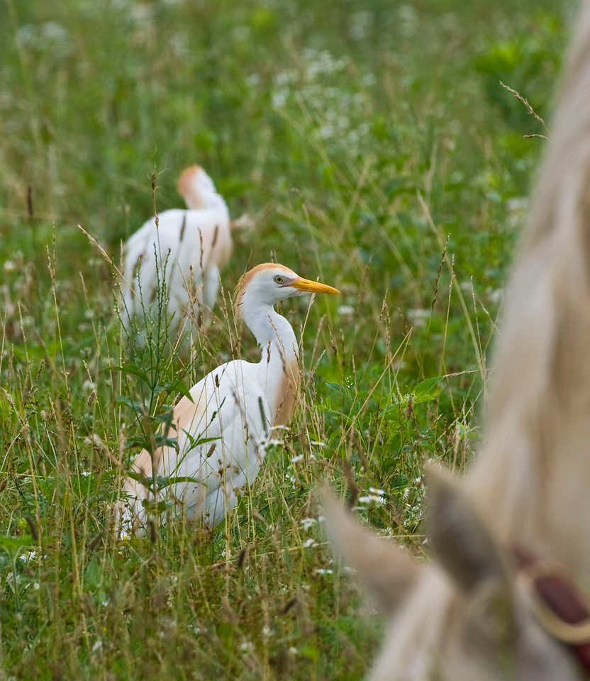 Cattle Egret, Goose Pond, Greene County, Indiana, July 5, 2009.