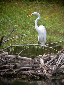 Great Egret, Northern Chinook Mine, Vigo Co, August 26, 2005.